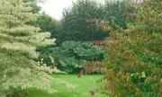 Les gunnera entre le cornus controversa variegata et le parotia persica